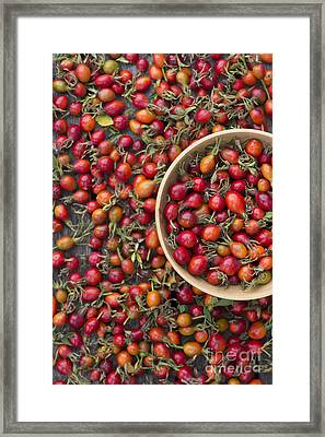 Foraged Rose Hips Framed Print by Tim Gainey