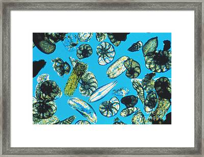 Foraminifera Protists Framed Print by Christian Gautier