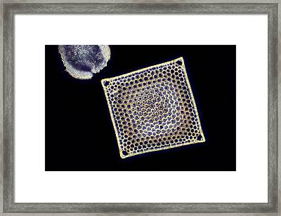 Fossil Diatom, Light Micrograph Framed Print by Science Photo Library