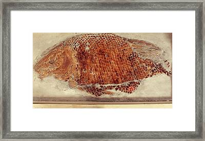 Fossil Fish Cast Framed Print by Ucl, Grant Museum Of Zoology