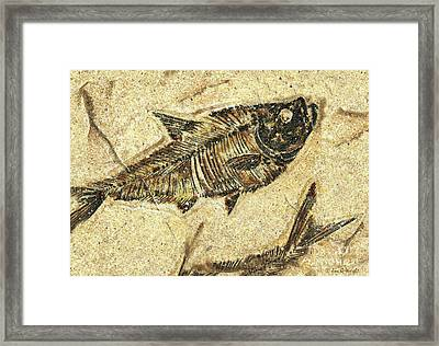 Fossil Fish Framed Print by JQ Licensing