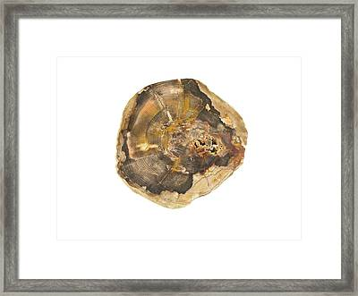 Fossil Kentucky Coffeetree Framed Print by Science Stock Photography