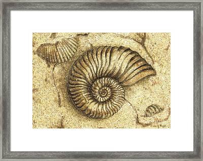 Fossil Shell Framed Print by JQ Licensing