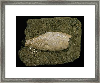 Fossilised Tellinella Rostralis Bivalve Framed Print by Natural History Museum, London
