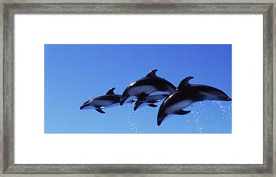 Four Bottle-nosed Dolphins Tursiops Framed Print by Panoramic Images