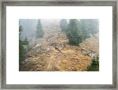 Four Chamois Crossing A Forest Path In The Swiss Alps Framed Print by Matthias Hauser