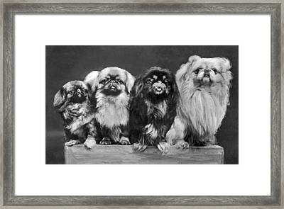 Four Pekingese On A Box Framed Print by Underwood Archives