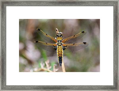 Four-spotted Chaser Dragonfly Framed Print by Colin Varndell