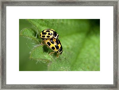 Fourteen-spot Ladybirds Framed Print by Nigel Downer