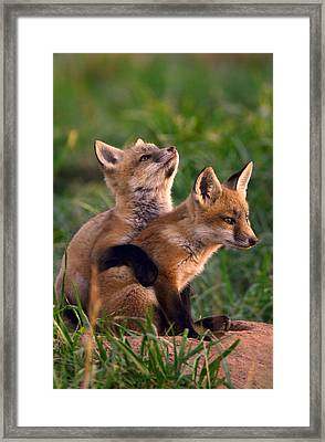 Fox Cub Buddies Framed Print by William Jobes