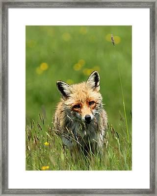 fox Framed Print by Dragomir Felix-bogdan