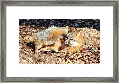 Fox Enjoying The Day Framed Print by Cynthia Guinn