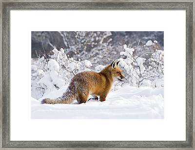 Fox In The Snow Framed Print by Roeselien Raimond
