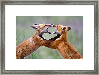 Fox Kits Framed Print by Merle Ann Loman