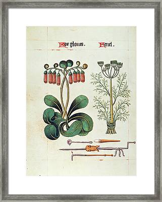 Foxglove And Fennel, C1515 Framed Print by Granger