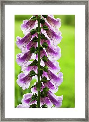 Foxglove Blooms In A Garden  Astoria Framed Print by Robert L. Potts