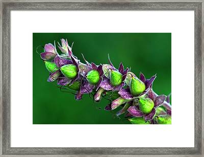 Foxglove Seed Pods Framed Print by Colin Varndell