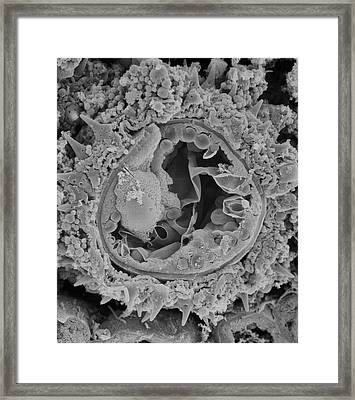 Fractured Pollen Grain Framed Print by Natural History Museum, London
