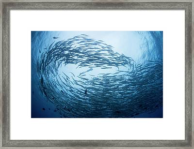 Free Diver In School Of Barracuda Framed Print by Scubazoo