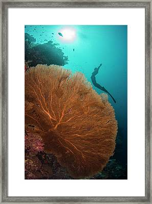 Free Diver Swimming Over Sea Fan Framed Print by Scubazoo