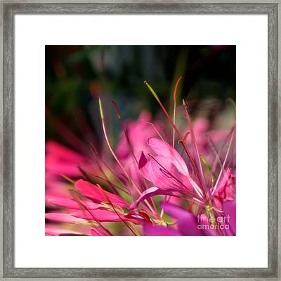 Free Spirit Cleome Framed Print by France Laliberte