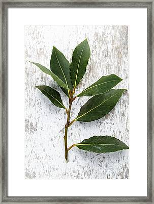 Fresh Laurel Framed Print by Nailia Schwarz