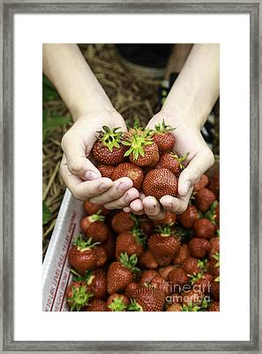 Fresh Picked Strawberries Framed Print by Edward Fielding
