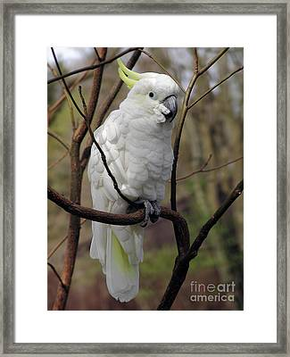 Friendly Cockatoo Framed Print by Judy Whitton