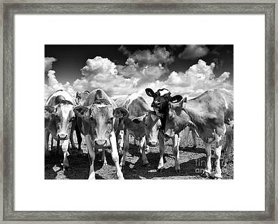 Friendly Cows  Framed Print by Tim Gainey