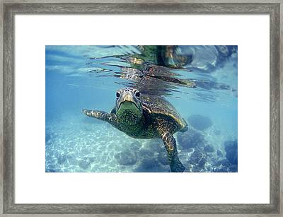 friendly Hawaiian sea turtle  Framed Print by Sean Davey