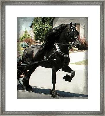 Friesian Driving Framed Print by Royal Grove Fine Art