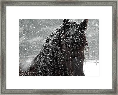 Friesian Snow Framed Print by Fran J Scott