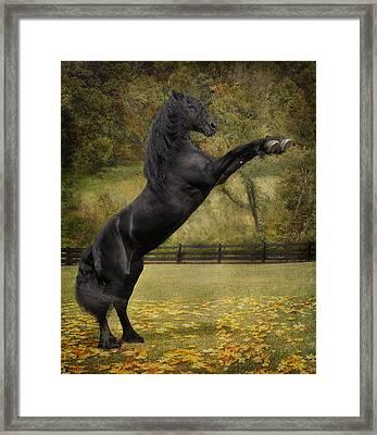 Friesian Stallion Tije  Framed Print by Fran J Scott