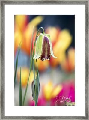 Fritillaria Graeca Thessala Framed Print by Tim Gainey