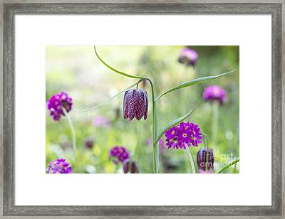 Fritillary And Primula  Framed Print by Tim Gainey