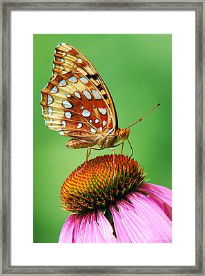 Fritillary Butterfly Framed Print by Christina Rollo