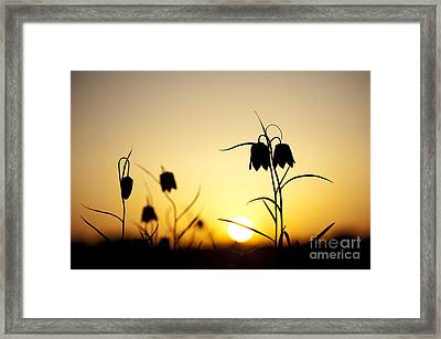Fritillary Flower Sunset Framed Print by Tim Gainey
