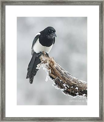 Frosted Magpie Framed Print by Tim Grams