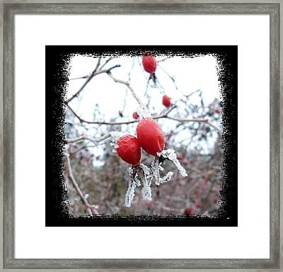 Frosted Rosehips Framed Print by Will Borden
