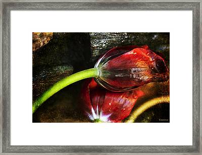 Frosted Tulips Framed Print by Terry Rowe