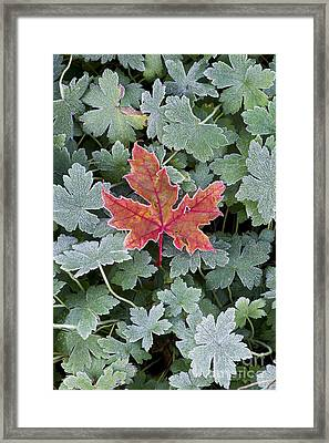 Frosty Maple Leaf Framed Print by Tim Gainey