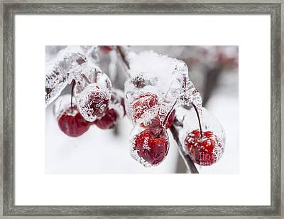 Frozen Crab Apples On Snowy Branch Framed Print by Elena Elisseeva
