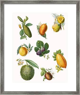 Fruit Framed Print by English School