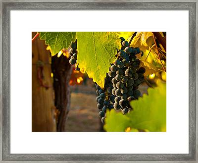Fruit Of The Vine Framed Print by Bill Gallagher