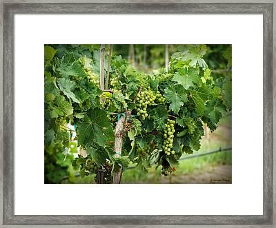 Fruit On The Vine Framed Print by Lucinda Walter