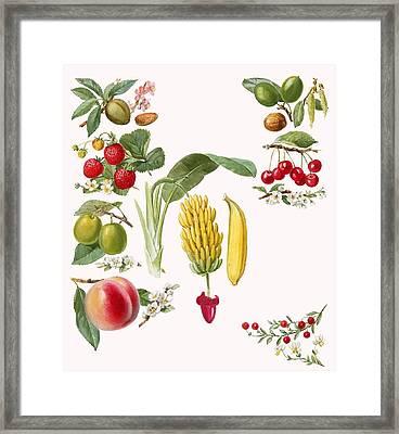 Fruits Framed Print by English School