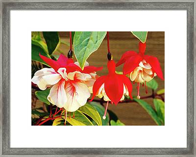 Fuchsia 'golden Swingtime' Framed Print by Archie Young