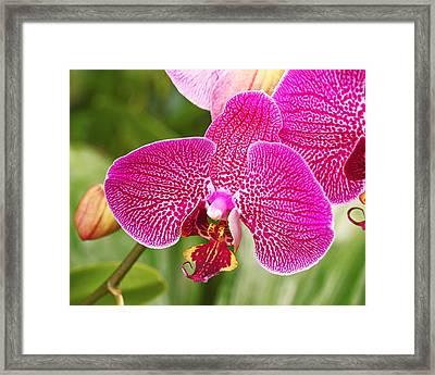 Fuchsia Moth Orchid Framed Print by Rona Black