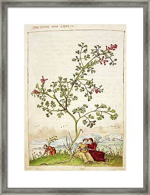 Fumewort (fumaria Sp.) Framed Print by British Library