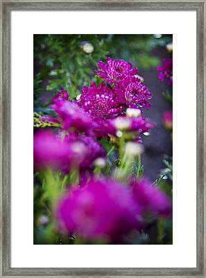 Fuschia Mums 1 Framed Print by Jessica Velasco